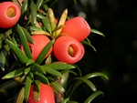 Irish Yew (Taxus baccata)